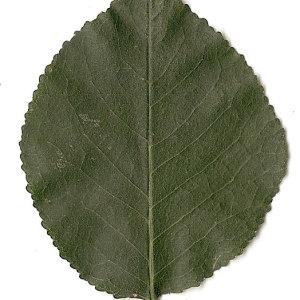 Photographie n°31260 du taxon Prunus mahaleb L.