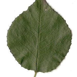 Photographie n°31261 du taxon Prunus mahaleb L.