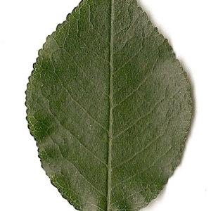 Photographie n°31262 du taxon Prunus mahaleb L.