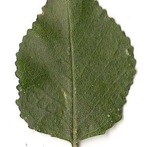Photographie n°31263 du taxon Prunus mahaleb L.