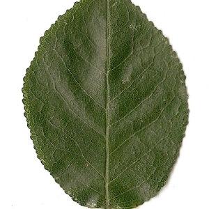 Photographie n°31264 du taxon Prunus mahaleb L.