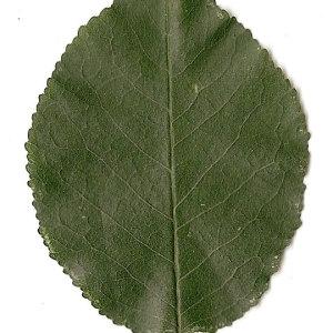 Photographie n°31265 du taxon Prunus mahaleb L.