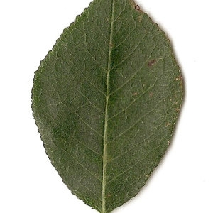 Photographie n°31266 du taxon Prunus mahaleb L.