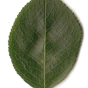 Photographie n°31267 du taxon Prunus mahaleb L.
