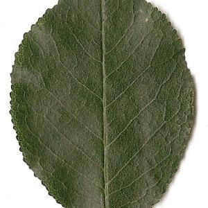 Photographie n°31268 du taxon Prunus mahaleb L.