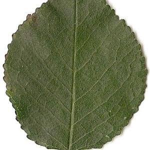 Photographie n°31270 du taxon Prunus mahaleb L.