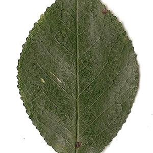 Photographie n°31271 du taxon Prunus mahaleb L.