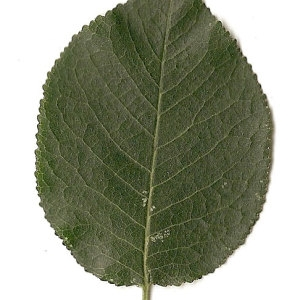 Photographie n°31272 du taxon Prunus mahaleb L.