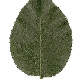 Photographie n°31273 du taxon Prunus mahaleb L.