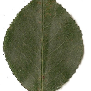 Photographie n°31276 du taxon Prunus mahaleb L.
