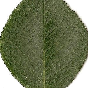 Photographie n°31277 du taxon Prunus mahaleb L.