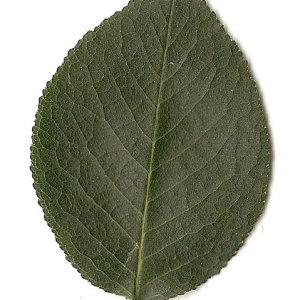 Photographie n°31279 du taxon Prunus mahaleb L.