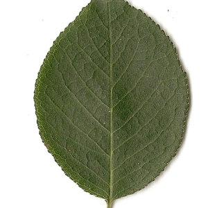 Photographie n°31280 du taxon Prunus mahaleb L.