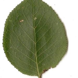 Photographie n°31281 du taxon Prunus mahaleb L.