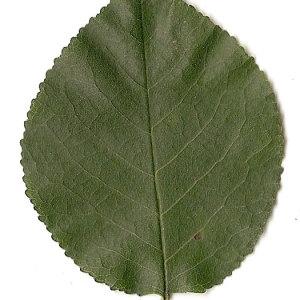 Photographie n°31282 du taxon Prunus mahaleb L.