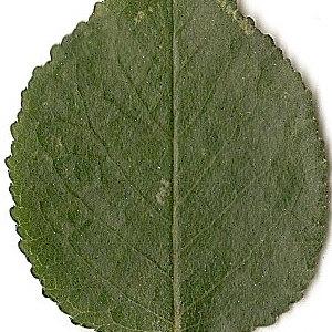 Photographie n°31283 du taxon Prunus mahaleb L.