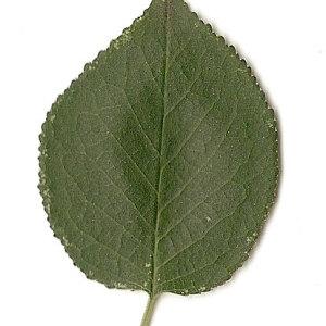 Photographie n°31284 du taxon Prunus mahaleb L.