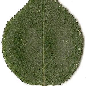 Photographie n°31285 du taxon Prunus mahaleb L.