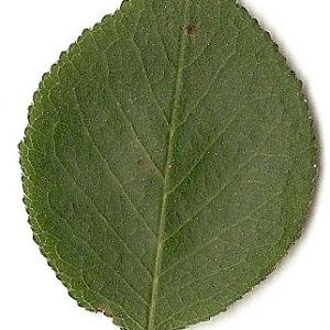 Photographie n°31286 du taxon Prunus mahaleb L.