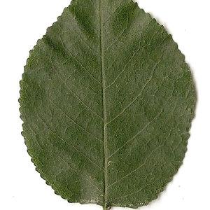 Photographie n°31287 du taxon Prunus mahaleb L.