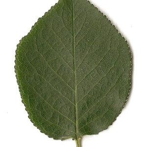 Photographie n°31288 du taxon Prunus mahaleb L.