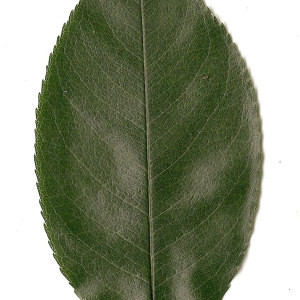 Photographie n°31289 du taxon Prunus spinosa L. [1753]