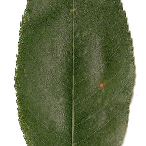 Photographie n°31290 du taxon Prunus spinosa L. [1753]
