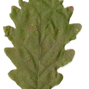 Photographie n°31329 du taxon Quercus petraea Liebl.