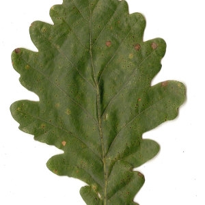 Photographie n°31330 du taxon Quercus petraea Liebl.
