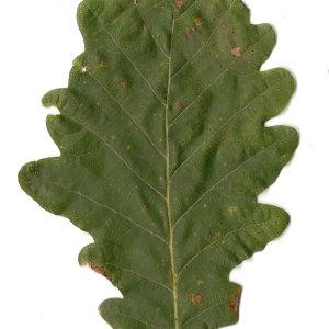 Photographie n°31332 du taxon Quercus petraea Liebl.
