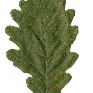 Photographie n°31333 du taxon Quercus petraea Liebl.