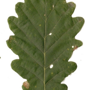 Photographie n°31334 du taxon Quercus petraea Liebl.