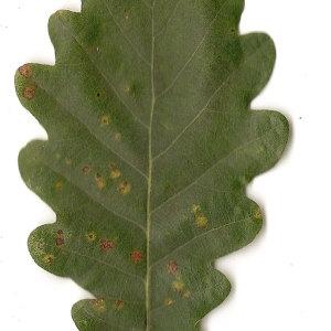 Photographie n°31335 du taxon Quercus petraea Liebl.