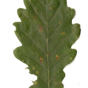 Photographie n°31337 du taxon Quercus petraea Liebl.
