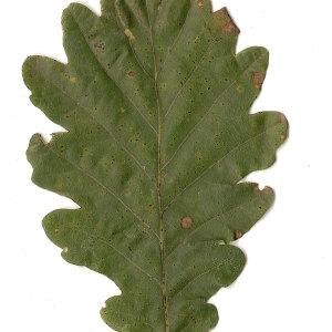 Photographie n°31338 du taxon Quercus petraea Liebl.