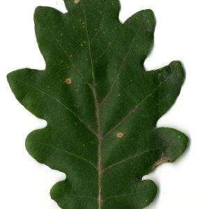 Photographie n°31343 du taxon Quercus pubescens Willd. [1805]