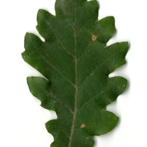 Photographie n°31345 du taxon Quercus pubescens Willd. [1805]