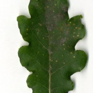 Photographie n°31348 du taxon Quercus pubescens Willd. [1805]