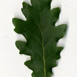 Photographie n°31349 du taxon Quercus pubescens Willd. [1805]