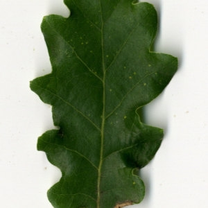 Photographie n°31350 du taxon Quercus pubescens Willd. [1805]