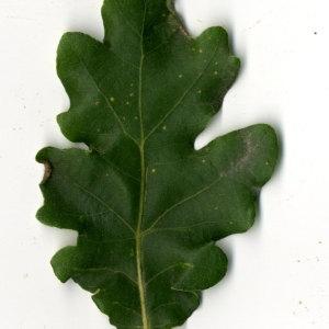 Photographie n°31351 du taxon Quercus pubescens Willd. [1805]