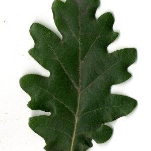 Photographie n°31352 du taxon Quercus pubescens Willd. [1805]