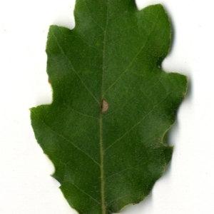 Photographie n°31354 du taxon Quercus pubescens Willd. [1805]