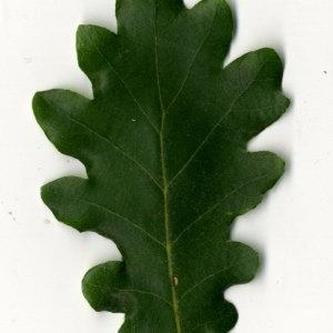 Photographie n°31357 du taxon Quercus pubescens Willd. [1805]