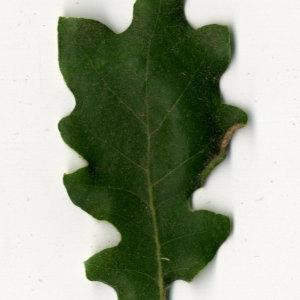 Photographie n°31358 du taxon Quercus pubescens Willd. [1805]