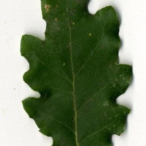 Photographie n°31359 du taxon Quercus pubescens Willd. [1805]
