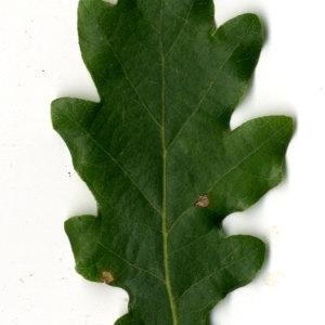 Photographie n°31360 du taxon Quercus pubescens Willd. [1805]