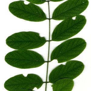 Photographie n°31388 du taxon Robinia pseudoacacia L.