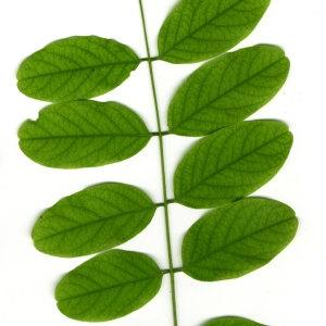 Photographie n°31389 du taxon Robinia pseudoacacia L.
