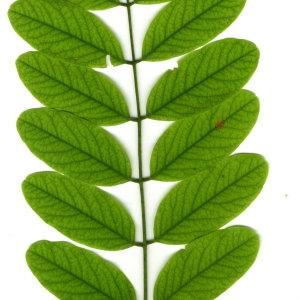 Photographie n°31392 du taxon Robinia pseudoacacia L.